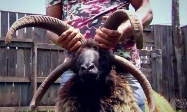 Entre espécies, há carneiro com 4 chifres e búfalos albinóides.
