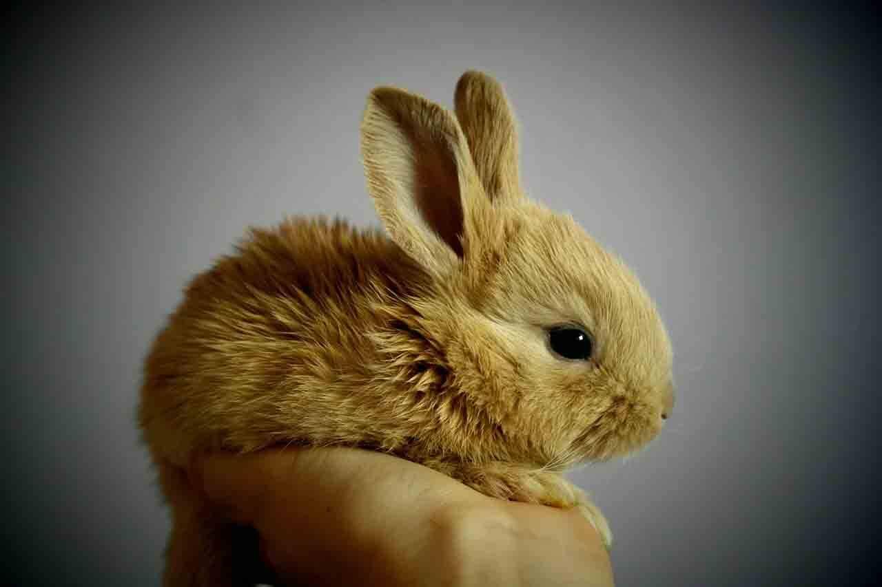 Pensa em ter um coelho (de verdade) na Páscoa? Veja os cuidados. Foto: pixabay