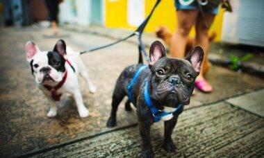 cachorro buldogue francês passeio