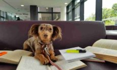 Universidade britânica usa cadela dachshund para 'orientar' alunos(fonte reprodução instagram)