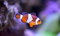 Peixe clownfish aquário. Foto: Pixabay