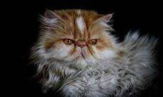 Tudo o que você precisa saber sobre o gato persa. Foto: Pixabay