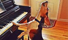 Buddy Mercury, cão que toca piano e canta - Foto Facebook