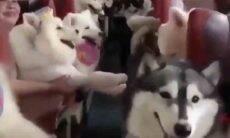 ônibus cheio de cães da taça husky siberiano. Reprodução Twitter