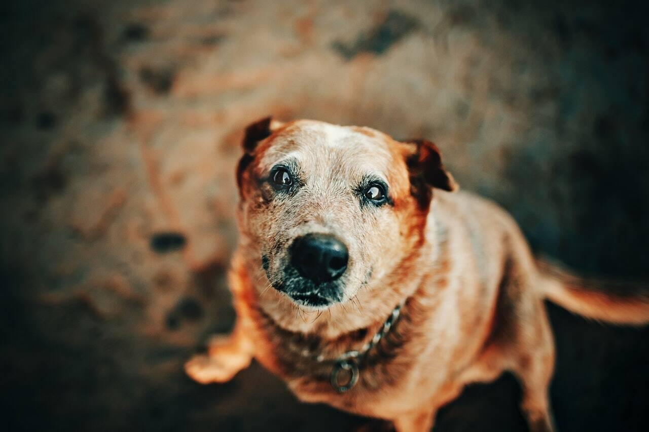 cachorro cão velho idoso - Foto Pexels