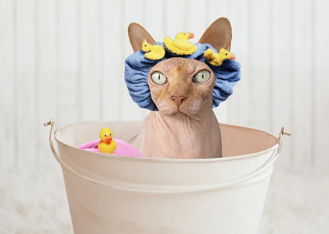 Banho gato sphynx - Foto Pixabay