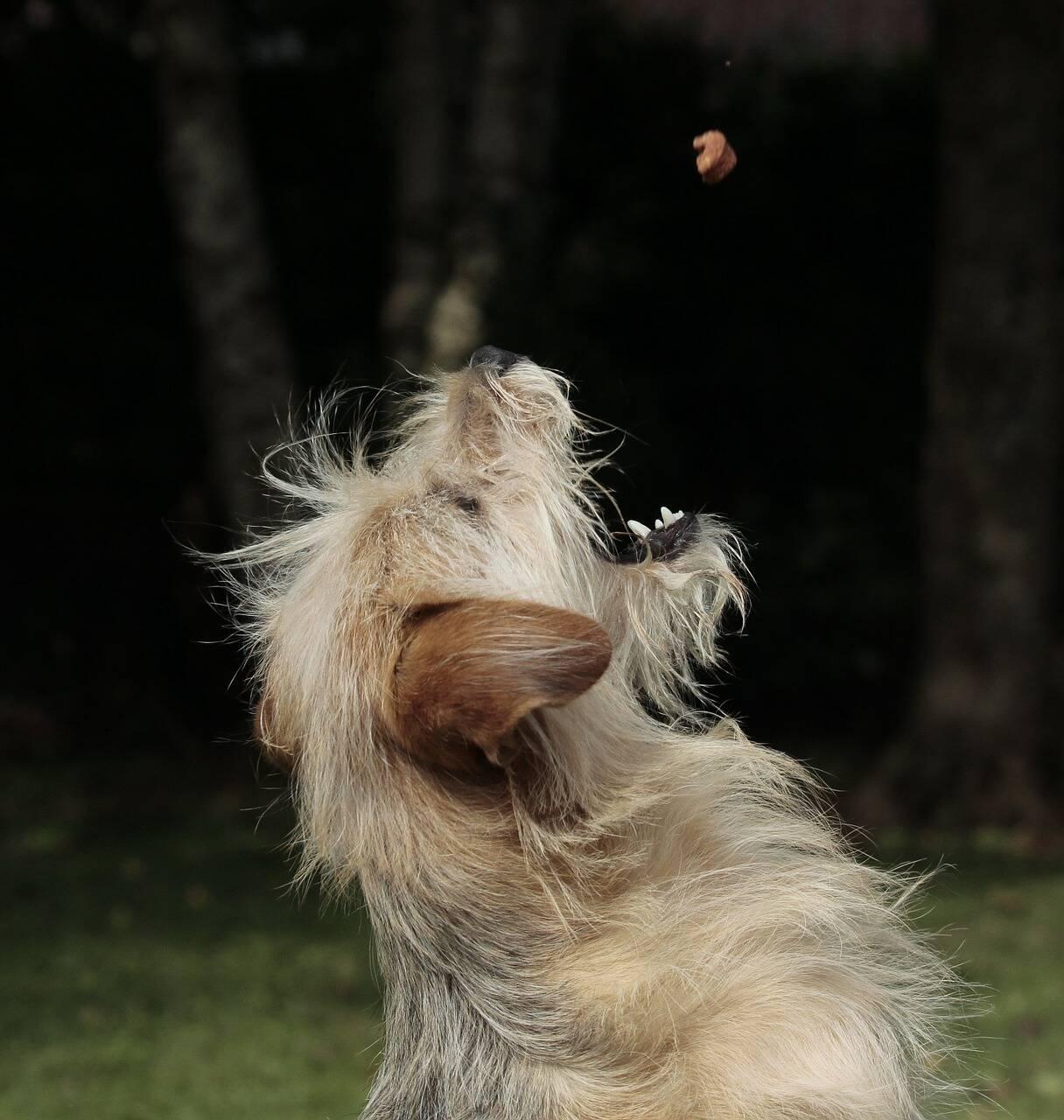 cão comida petisco
