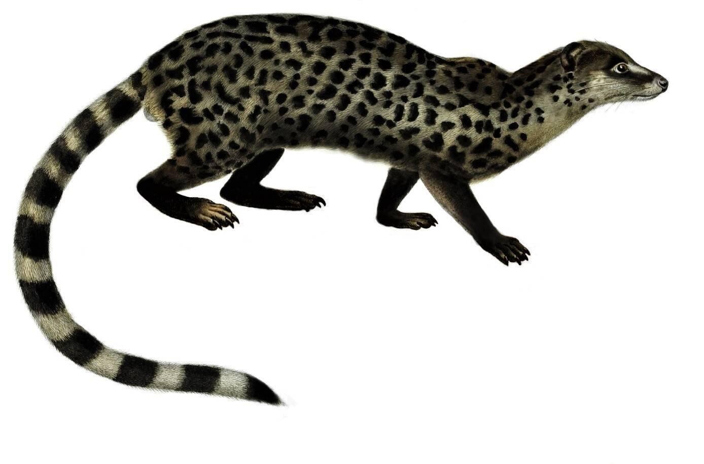 Miacis - Foto Wikimedia Commons