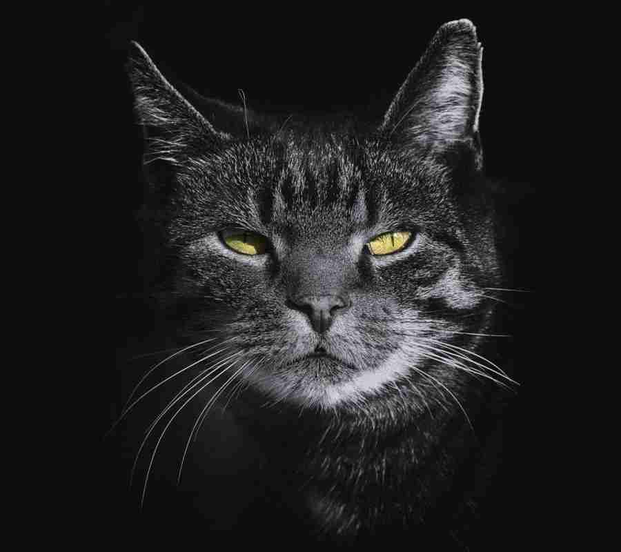 Aprenda a calcular a idade do seu gato em relação à humana