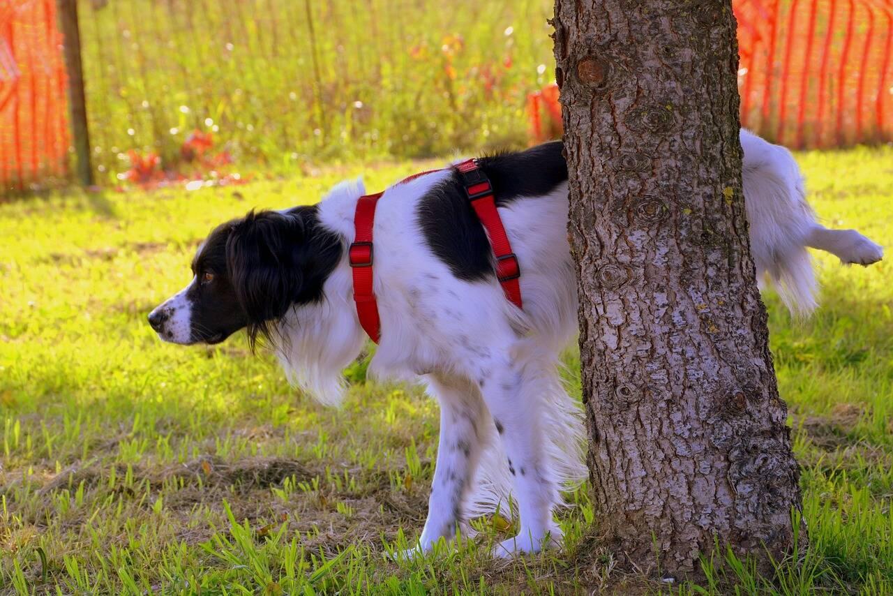 cachorro xixi urina - Foto Pixabay