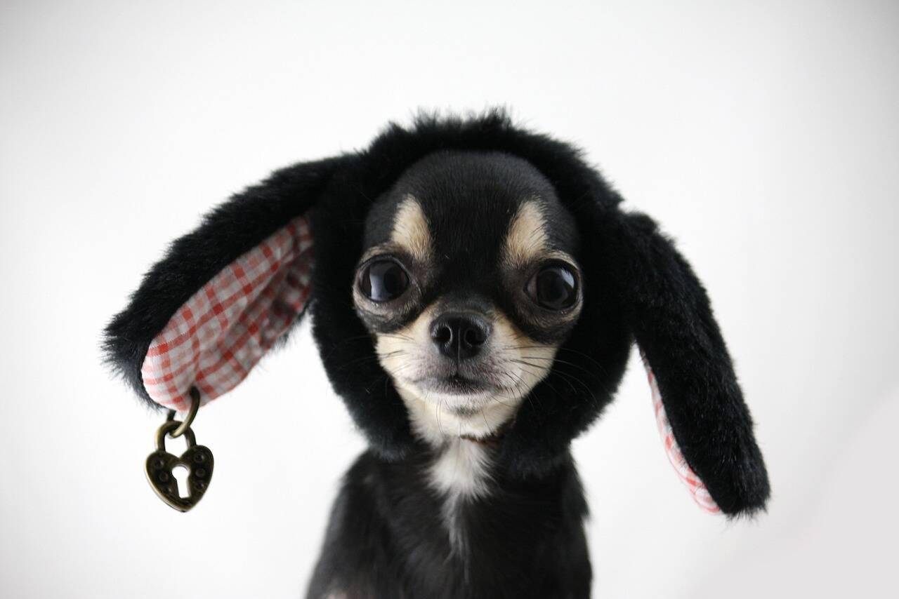 Chihuahua - Foto Pixabay