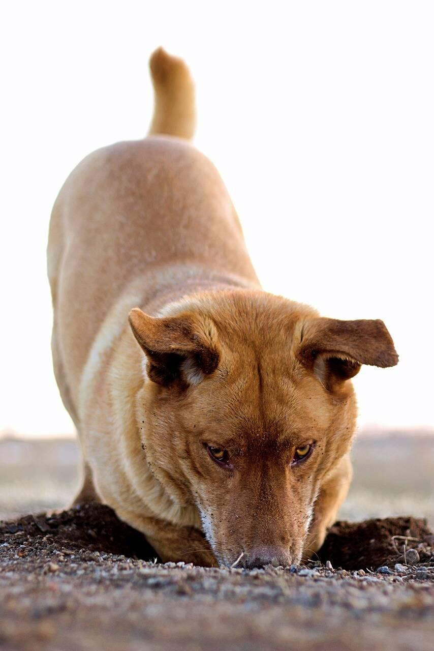 cachorro escavação - Foto Pixabay
