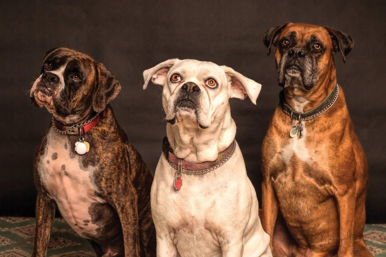 Cães com pingente de identificação - Foto Pixabay