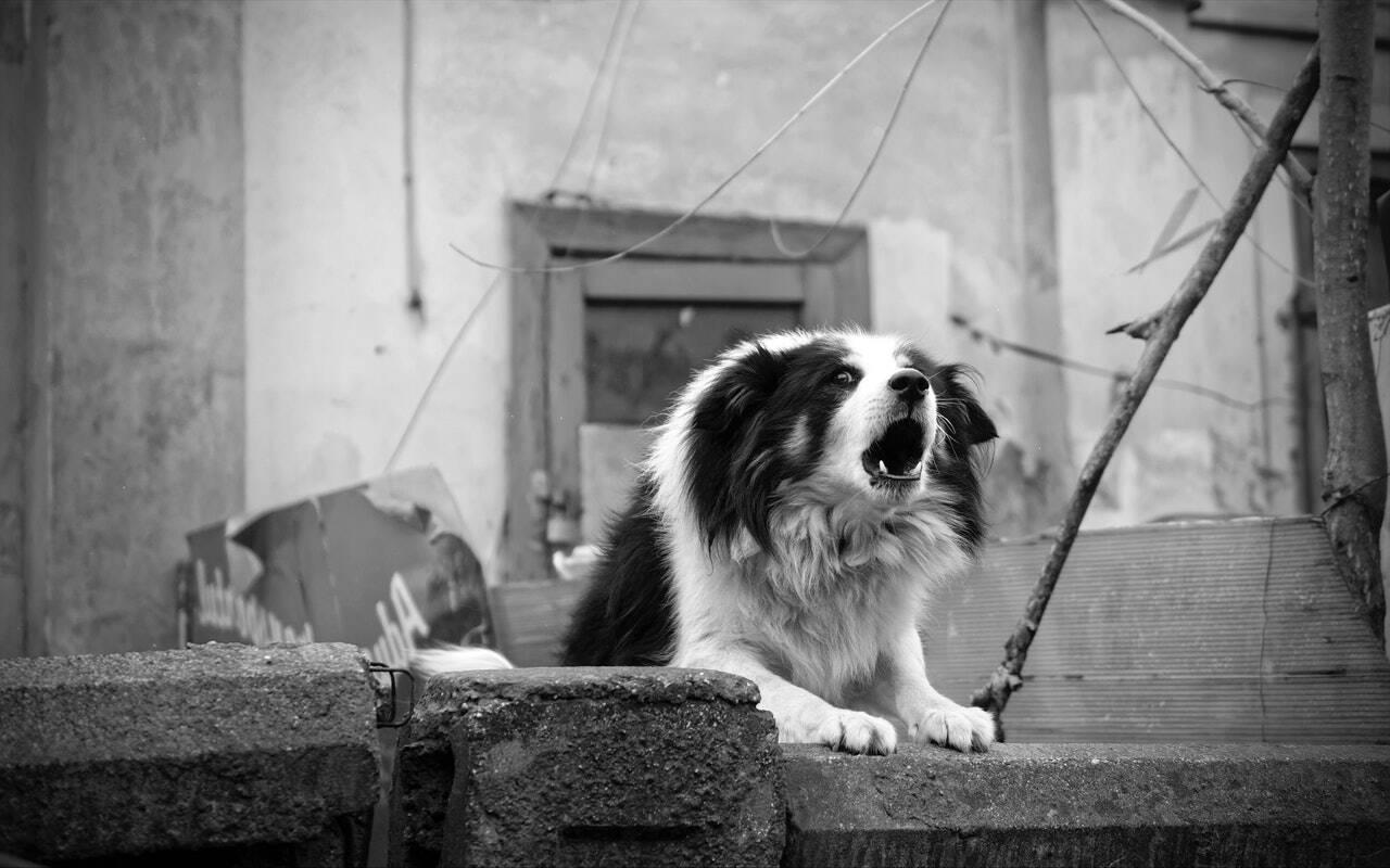 cão latido - Foto Pexels