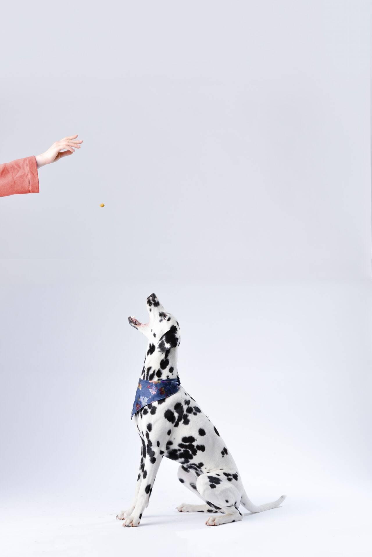 cachorro dálmata - Foto Pexel