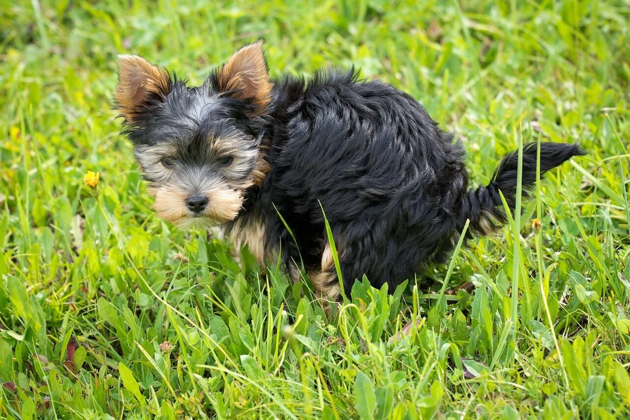 cachorro cocô - Foto Pixabay
