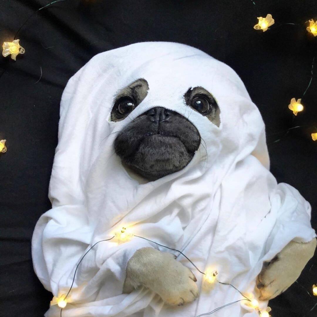 Fantasma - Foto @cute_pugs_of_the_day