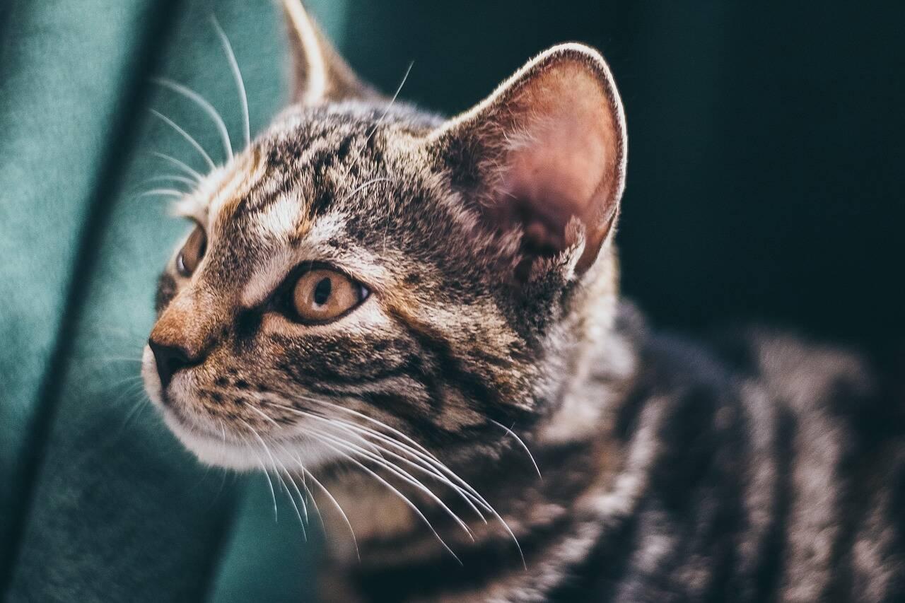 Gato orelha otite - Foto Pixabay