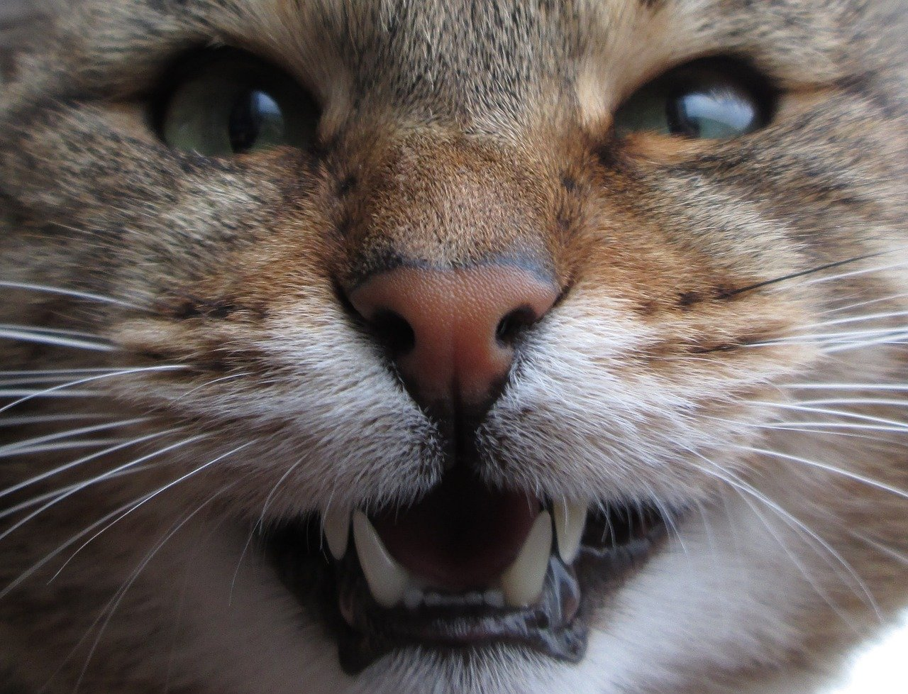 Gato dentes - Foto Pixabay