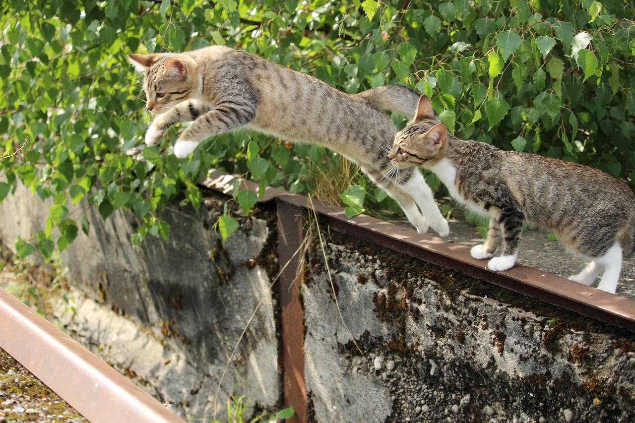 Gato pulo salto - Foto Pixabay