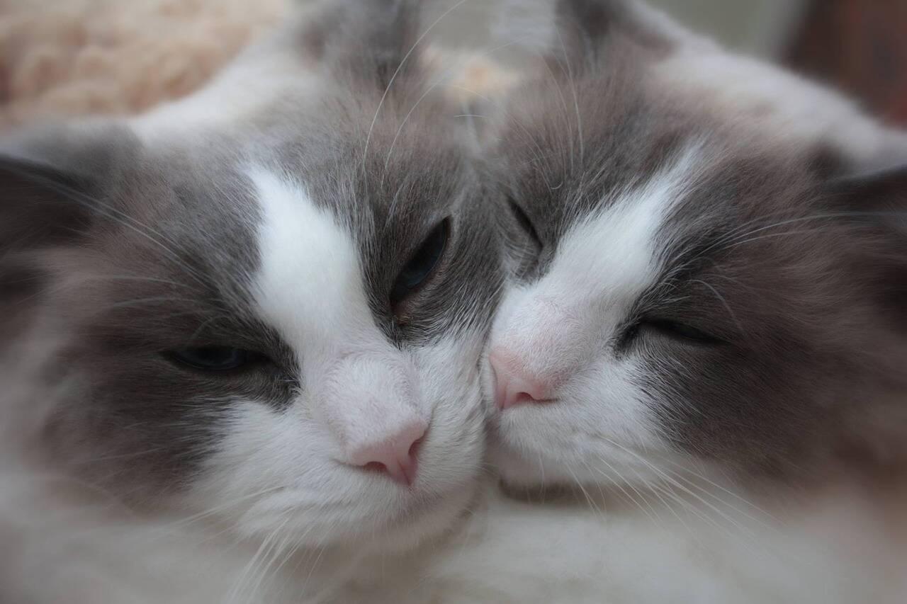 Gato carinhoso - Foto Pixabay