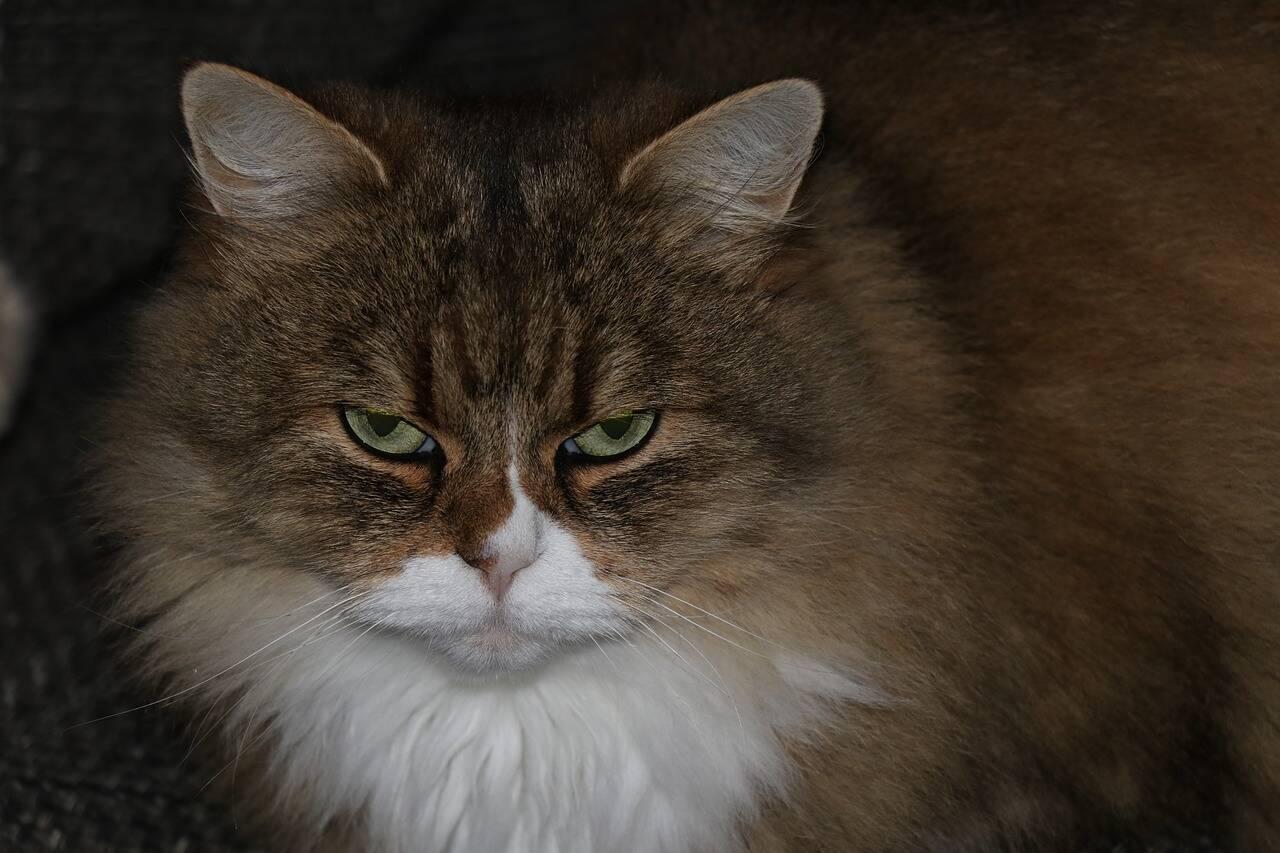 Gato bravo - Foto Pixabay
