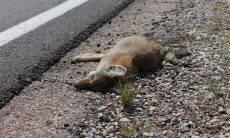 animal morto por atropelamento - Foto Pixabay