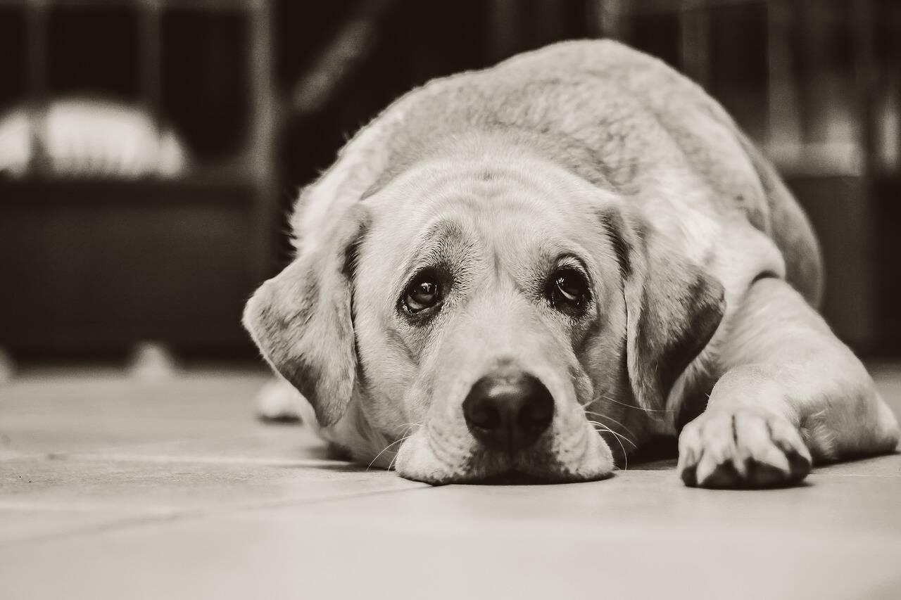Cão triste - Foto Pixabay