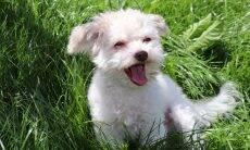 Cão feliz - Foto Pixabay