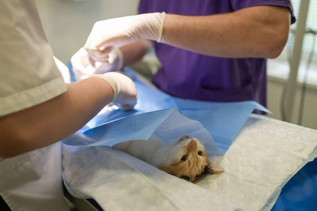 gato cirurgia - Foto Pixabay
