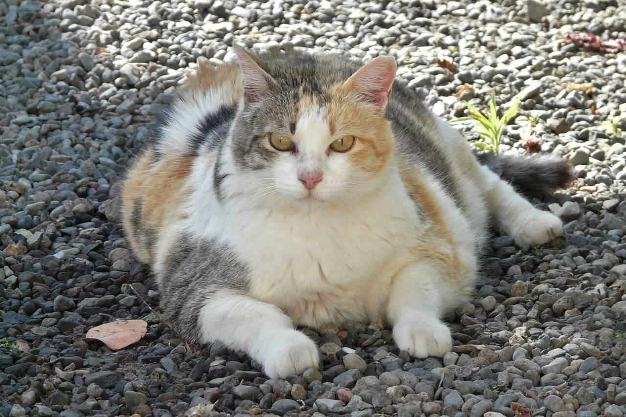 gato obeso - Foto Pixabay