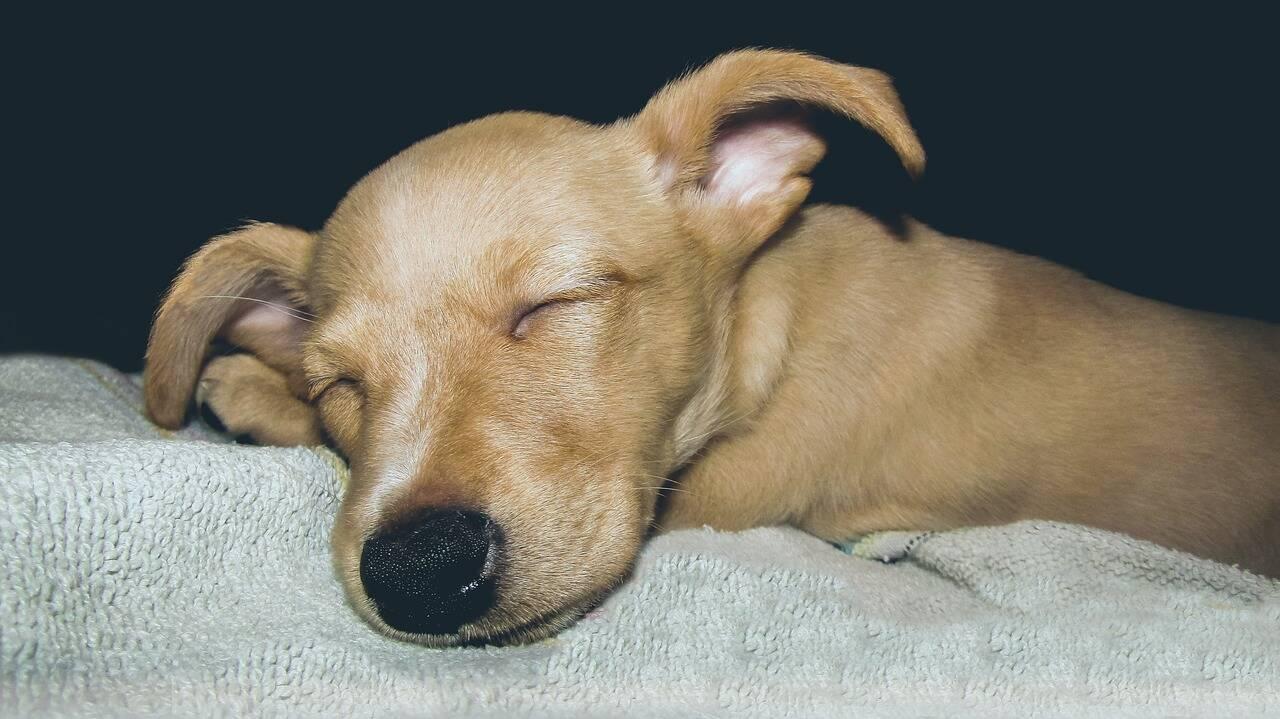 Cachorro sono pesadelo - Foto Pixabay