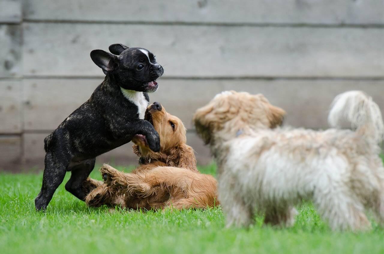 Cão brincadeira - Foto Pixabay
