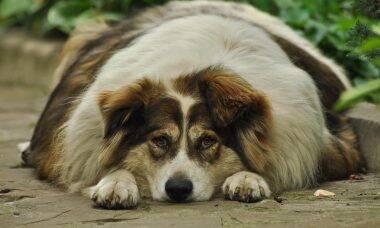 cão obeso - Foto Pixabay