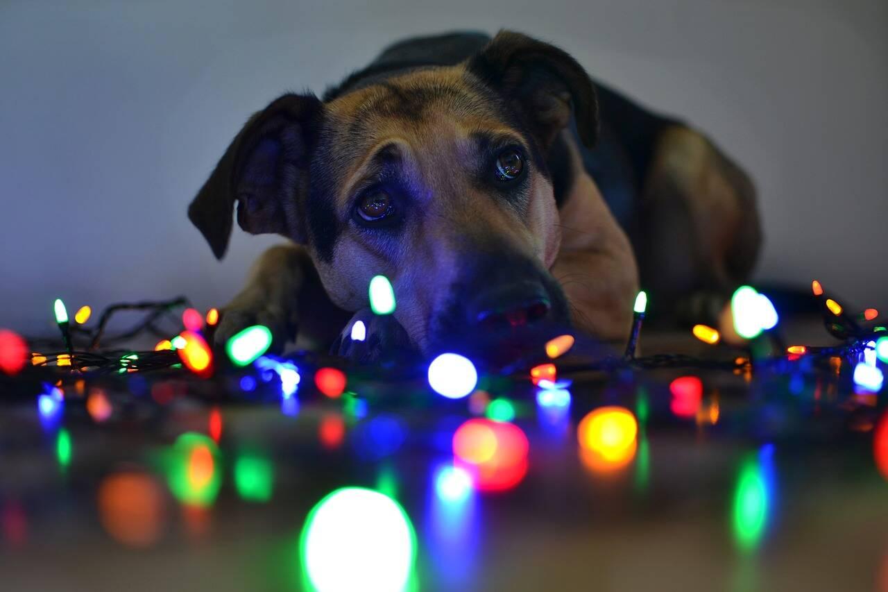 Cães Natal - Foto Pixabay