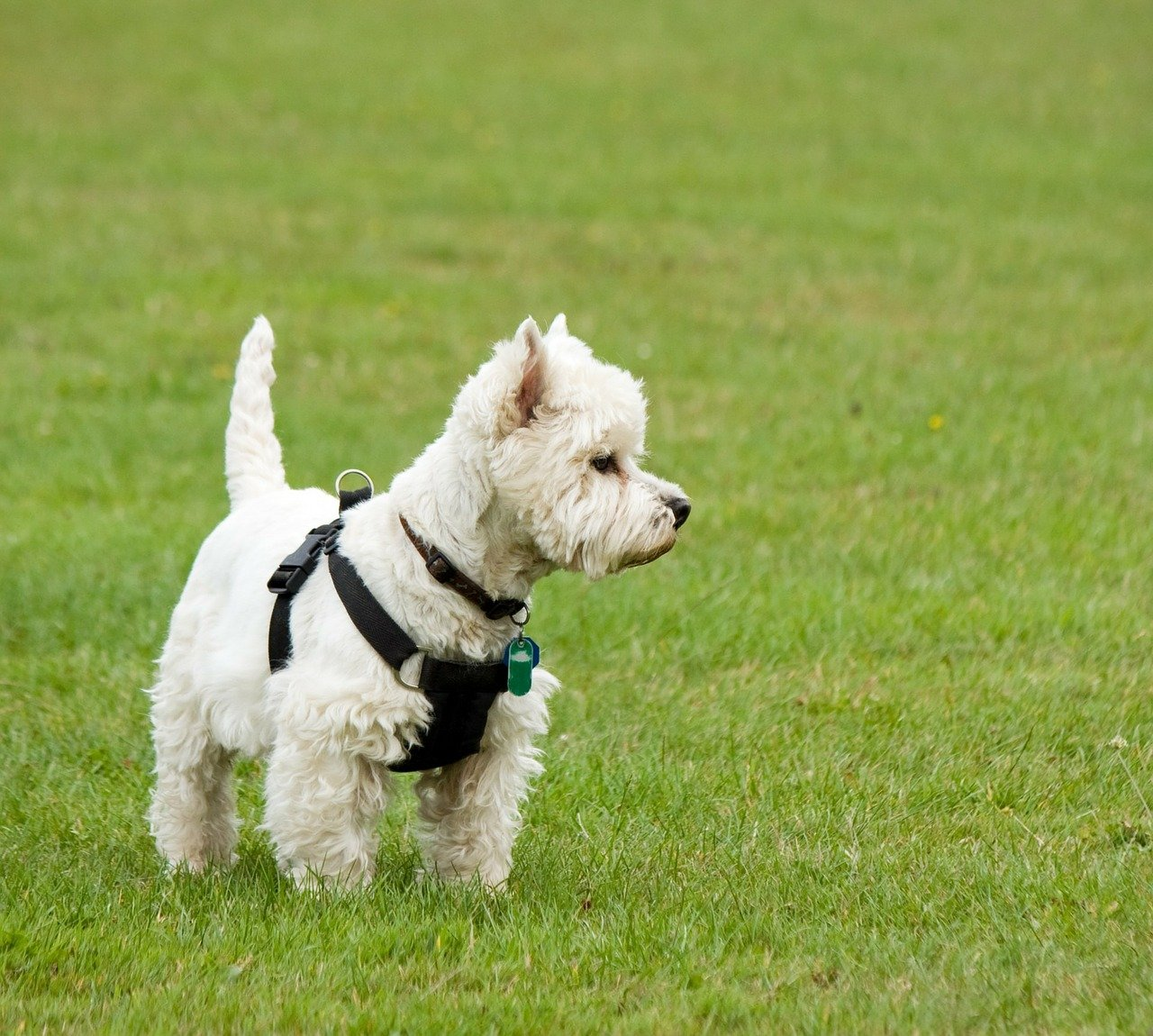 West highland white terrier - Foto Pixabay