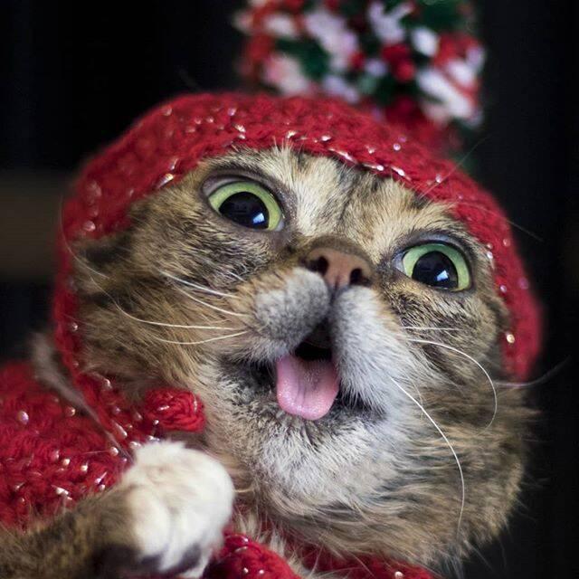 Lil Bub, gata celebridade da internet - Foto Instagram