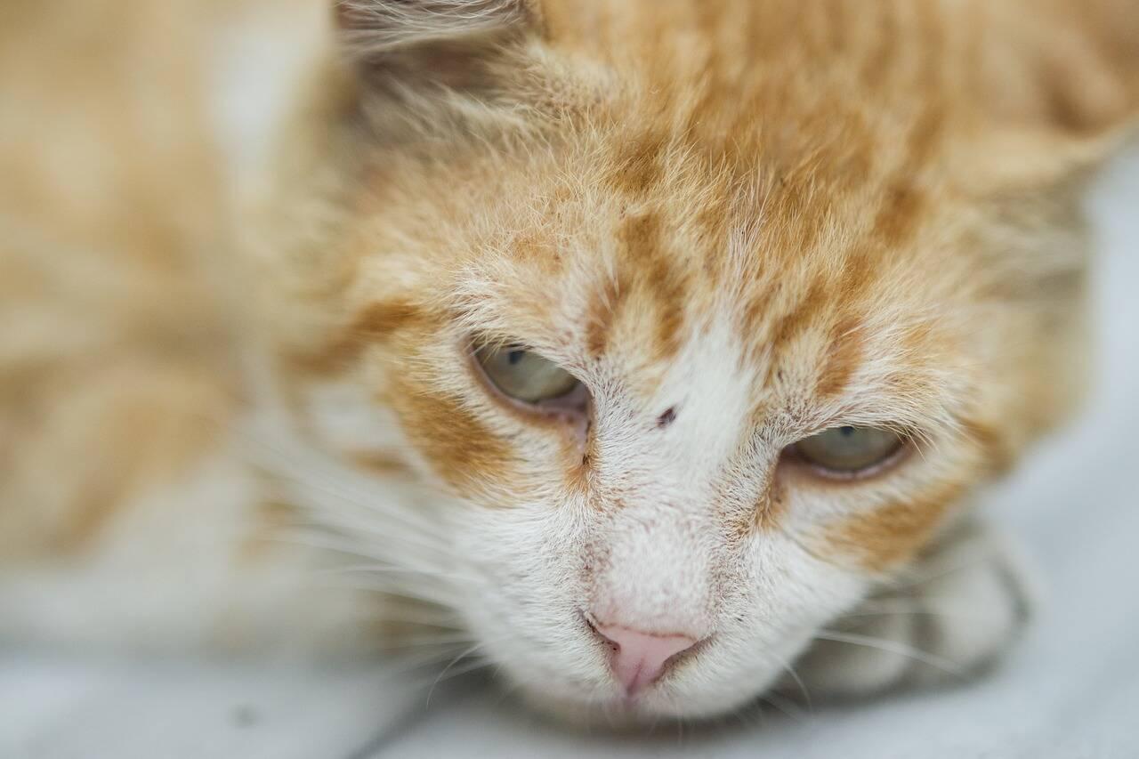 gato triste doente - Foto Pixabay