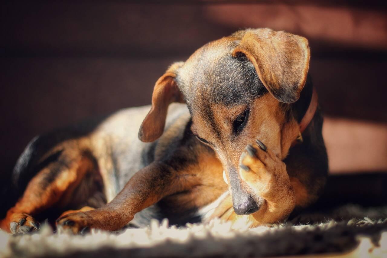 Cão doente - Foto Pixabay