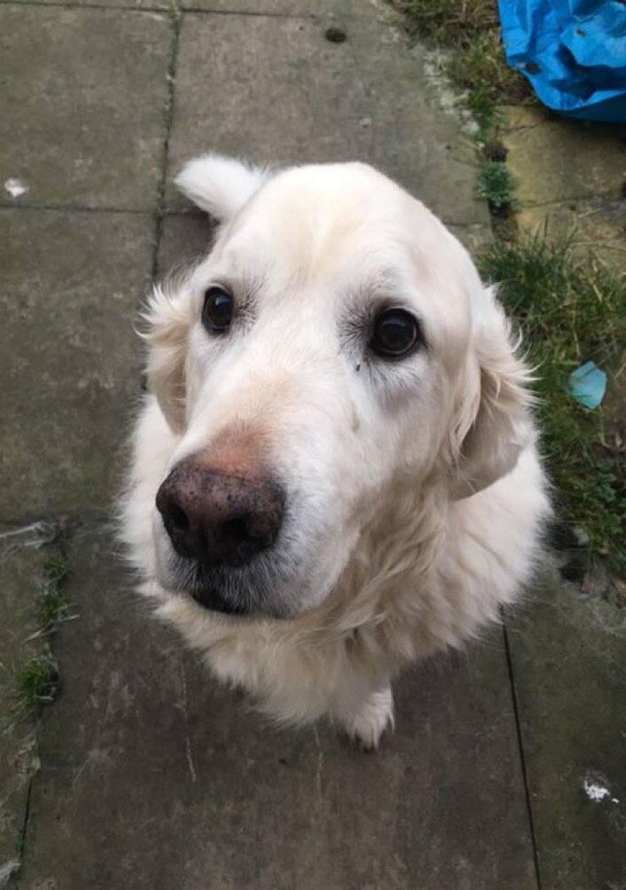 O cão Noodle, cuja dona fez vaquinha para cirurgia - Foto Twitter