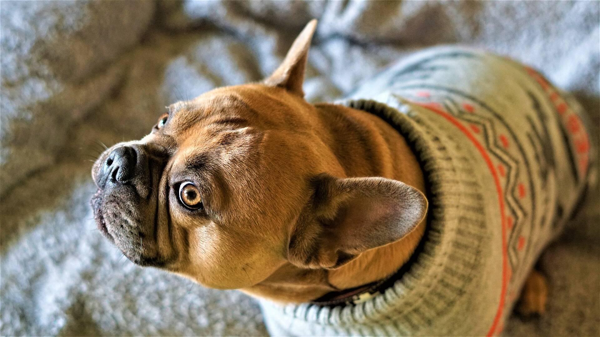 Bulldog no inverno