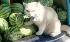 Vídeo: conheça o gatinho rabugento que vigia melancias na Tailândia