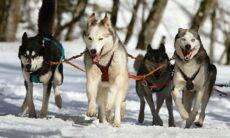 Huskies, cães de trenó