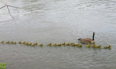Mamãe ganso cuida de 47 filhotes