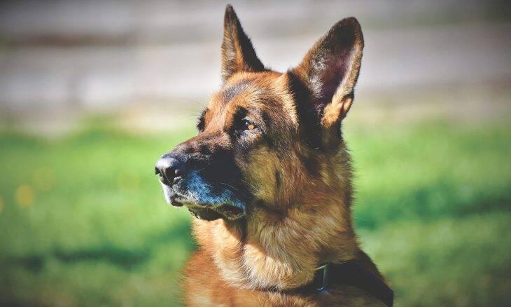 Cães farejadores alemães mostram talento para detectar coronavírus