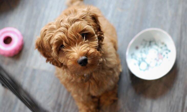 Seu cão só come se você estiver por perto? Saiba por que isso acontece