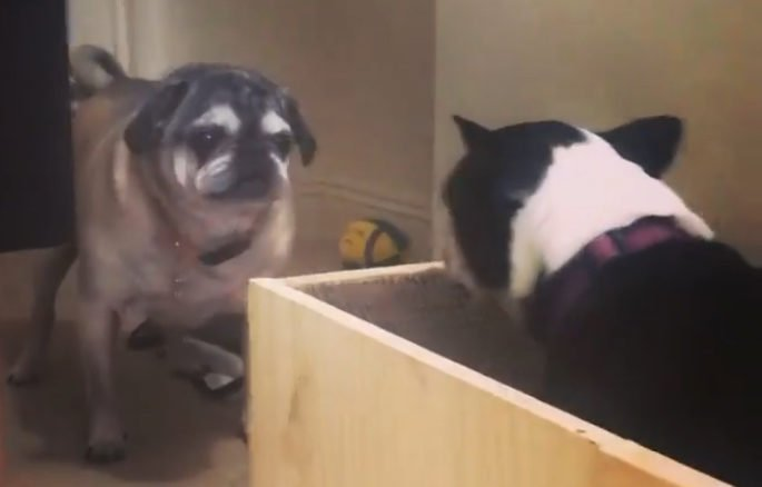 Dona constrói elevador de madeira para seus pugs velhinhos