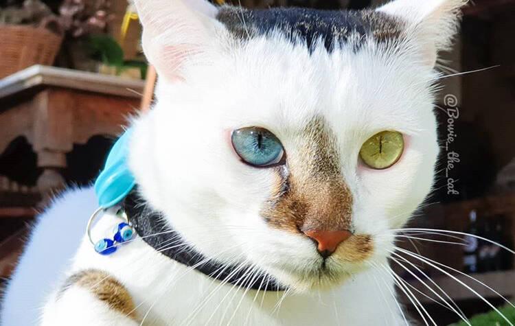 Conheça Bowie, o gato com olhos de cores diferentes que encanta a internet