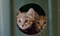 Zoológico divulga vídeo fofo com os 'gatos mais mortais do mundo'