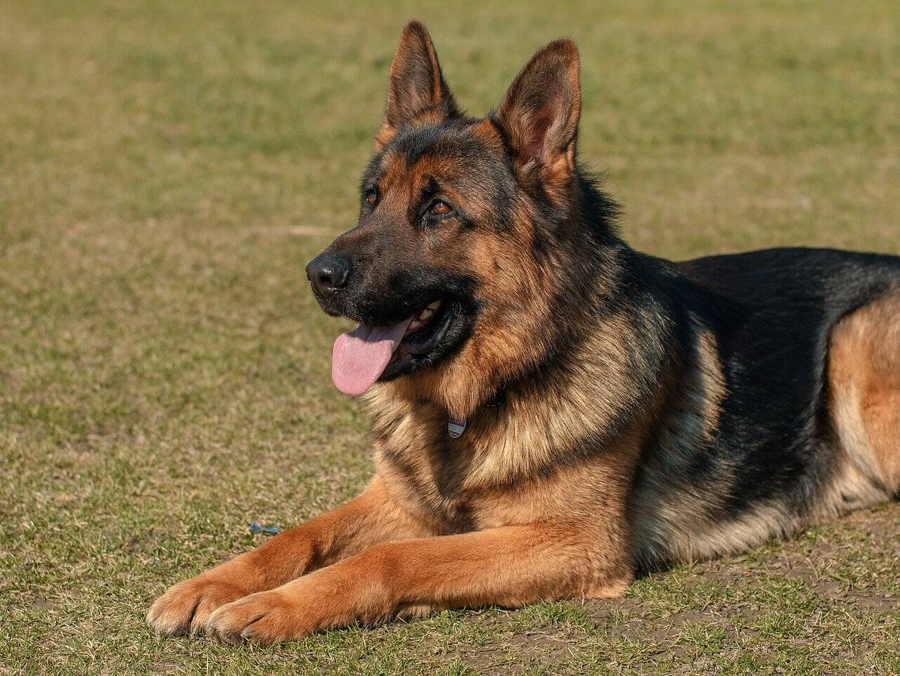 Primeiro cão a testar positivo para Covid-19 morre nos EUA